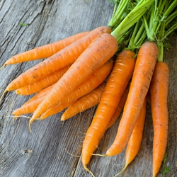 Bunch of Orange Carrots with Green Tops