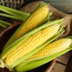 Three Ears of Corn Partially Husked