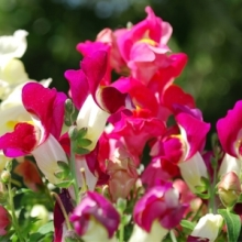 Heat and Drought Tolerant Annuals