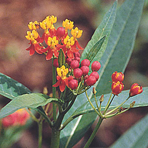 Scarlet Milkweed, Blood Flower, Indian Root
