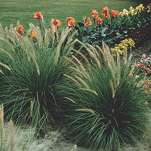 Annual Ornamental Grass