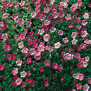 Saxifrage, Rockfoil