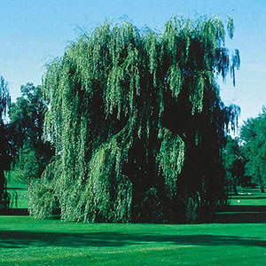 Golden Willow, White Willow