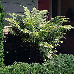 Tasmanian Tree Fern, Man Fern