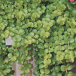 Lysimachia, Creeping Jenny, Moneywort