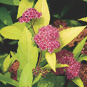 Gold  Leaf Spirea