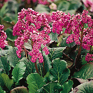 Heartleaf Bergenia, Saxifraga
