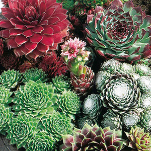 Hens and Chicks, Houseleeks, Live Forever