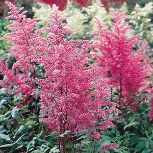 Astilbe, False Spirea