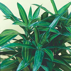 Song of India, Malaysian Dracaena, Song of Jamaica