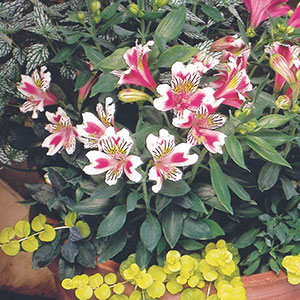 Peruvian Lily, Lily of the Incas
