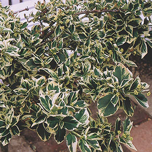 Variegated Wintercreeper