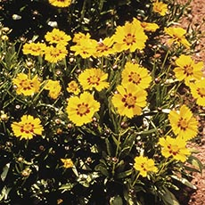 Threadleaf Coreopsis, Tickseed