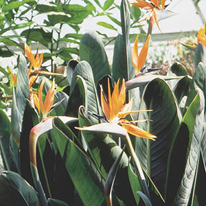 Bird of Paradise, Crane Flower