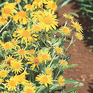 Sneezeweed, Owl's Claws