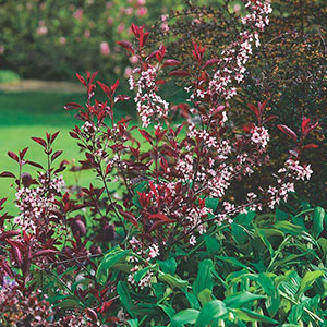 Purpleleaf Sand Cherry, Purpleleaf Plum