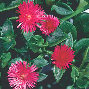 Heartleaf Ice plant, Baby Sun Rose