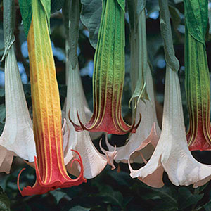 Datura, Angel's Trumpet Flower