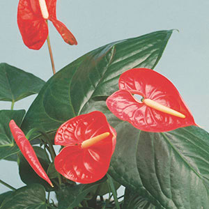 Anthurium Indoors