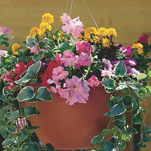 Summer Annual Hanging Basket