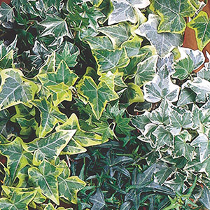 Annual Ivy