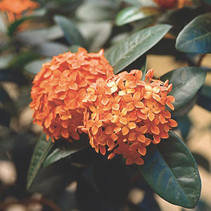 Ixora, Jungle Geranium, Jungle Flame