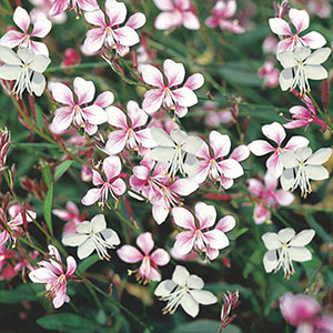 Wand Flower, Gaura, Indian Feather