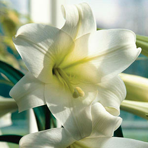 Easter Lily, Christmas Lily