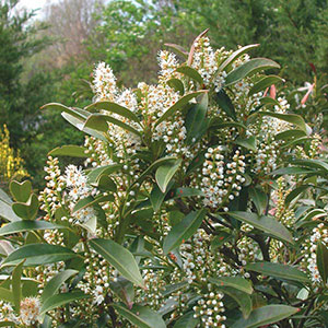 Cherry Laurel, English Laurel