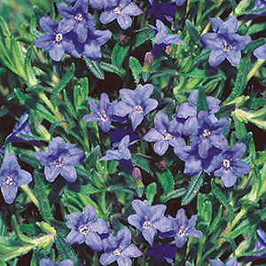 Lithodora, Indian Plant