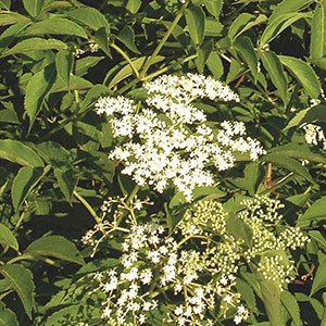 American Elderberry, Sweet Elder