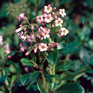 Dwarf Escallonia