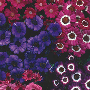 Cineraria Indoors