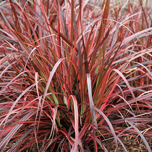 Variegated Fountain Grass