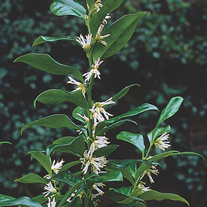 Fragrant Sarcococca, Fragrant Sweet Box