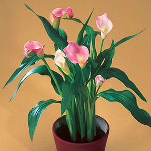 Calla Lily Indoors