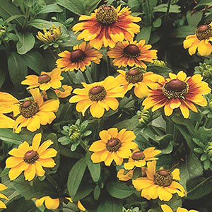 Gloriosa Daisy Annual
