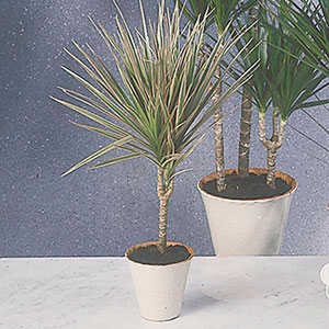 Dracaena, Madagascar Dragon Tree, Marginata Bush