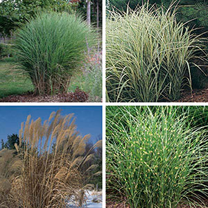 Miscanthus, Ornamental Grass