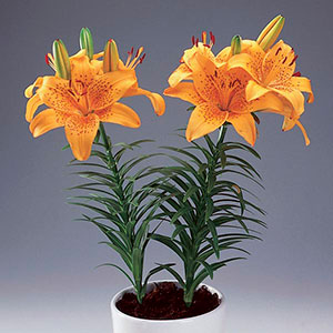 Asiatic Lily Indoors