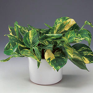 Golden Pothos, Devil's Ivy