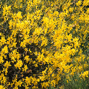 Spanish Broom, Weaver's Broom