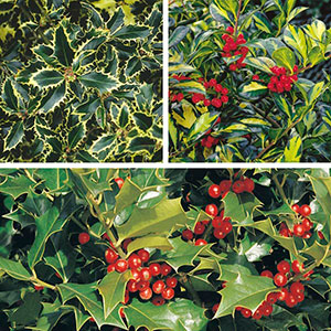 Holly (Ilex species)