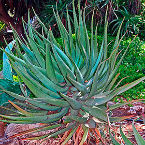 Aloe Shrub