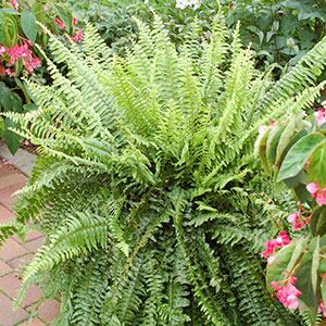 Boston Fern Indoors