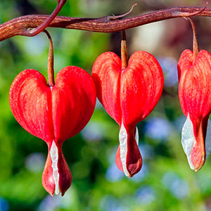 Old-Fashioned Bleeding Heart, Lyre Flower (Dicentra spectabilis)