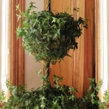Ivy Topiary Made Easy