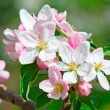 Get to Know Apple Tree