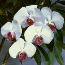 7 Tips to Keep Phalaenopsis Orchids Blooming