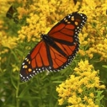 10 Flowers that Feed Monarch Butterflies